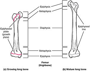 623 Epiphyseal Plate Line
