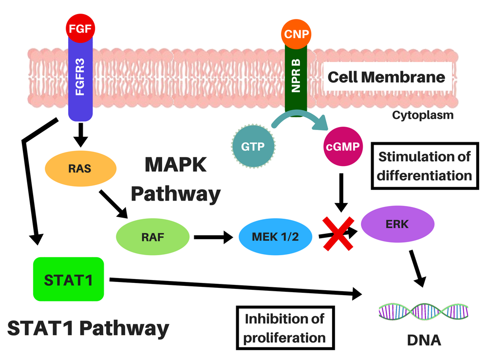 FGFR3 Signaling and MAPK Inhibition