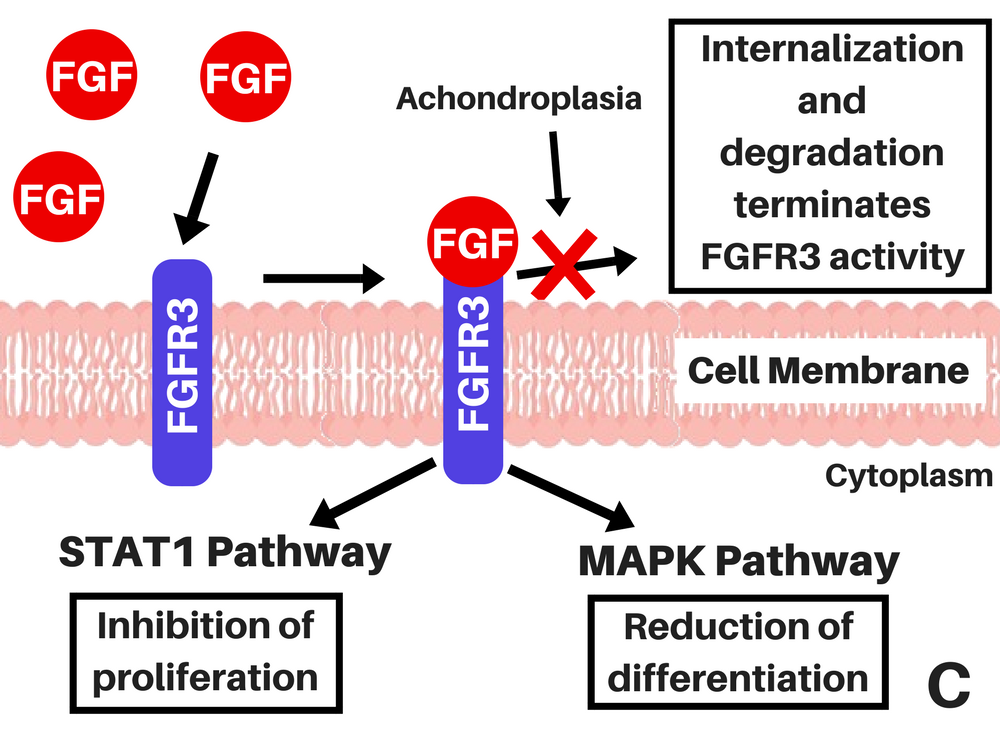 FGFR3 with achondroplasia C